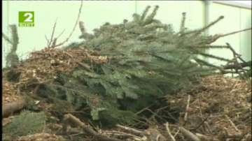 Коледните елхички стават на биотор