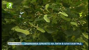 Забраниха брането на липов цвят в Благоевград