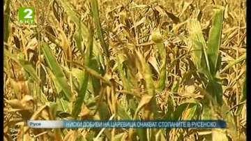 Ниски добиви на царевица очакват стопаните в Русенско
