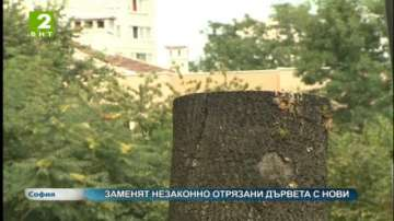 Заменят незаконно отрязани дървета с нови