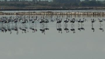 """Ято розово фламинго се настани в """"Атанасовското езеро"""