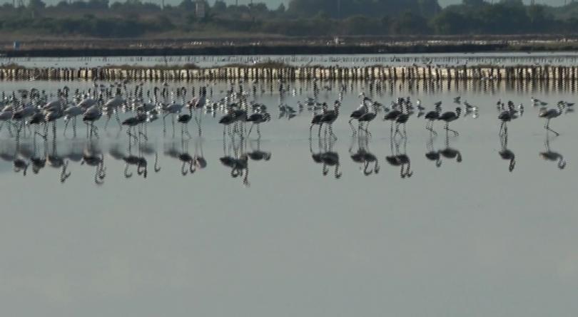 """159 птици розово фламинго се настаниха в """"Атанасовското езеро"""