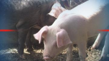 В област Русе започна евтаназия на прасета заради огнища на африканска чума