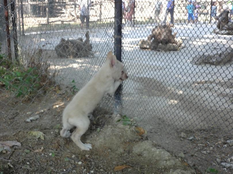 Вълк с бяла окраска се е родил на 3 май
