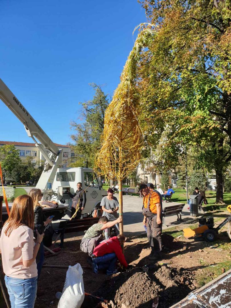 снимка 2 Пред Св. Седмочисленици вече има нова върба