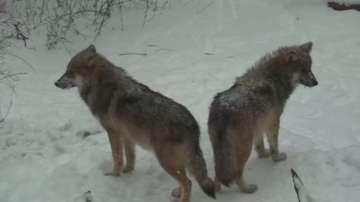 Застрашен вид вълци в снежен капан