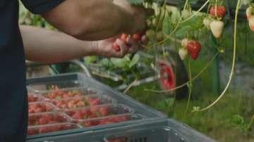 Какви ще са новите правила за сезонни работници във Великобритания?