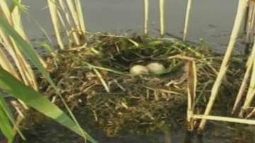 Диви животни изядоха яйца на пеликани в Сребърна