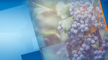 Празник на виното и зарязване на лозята в региона на Пловдив