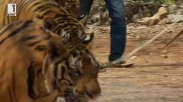 Зелена светлина: Храмът на тигрите в Тайланд