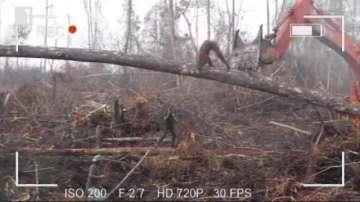 Зелена светлина: Орангутан срещу булдозер