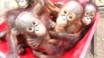 Зелена светлина: Маймунката Лео от остров Борнео