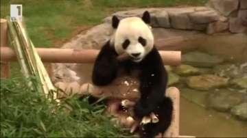 Зелена светлина: Защо пандите са черно-бели?