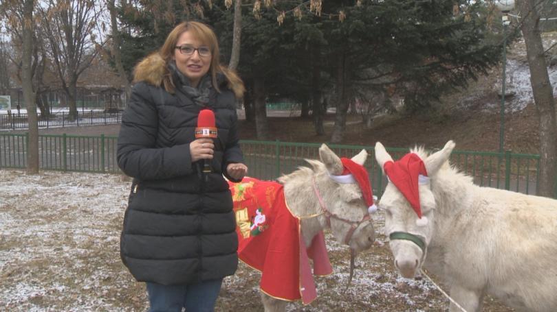 Коледен кът в софийския зоопарк: две магаренца и мини прасенце
